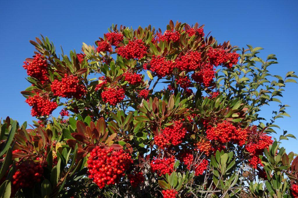 toyon-berries.jpg